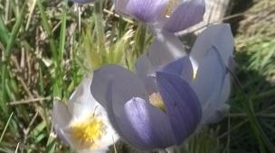 Spring Crocus'
