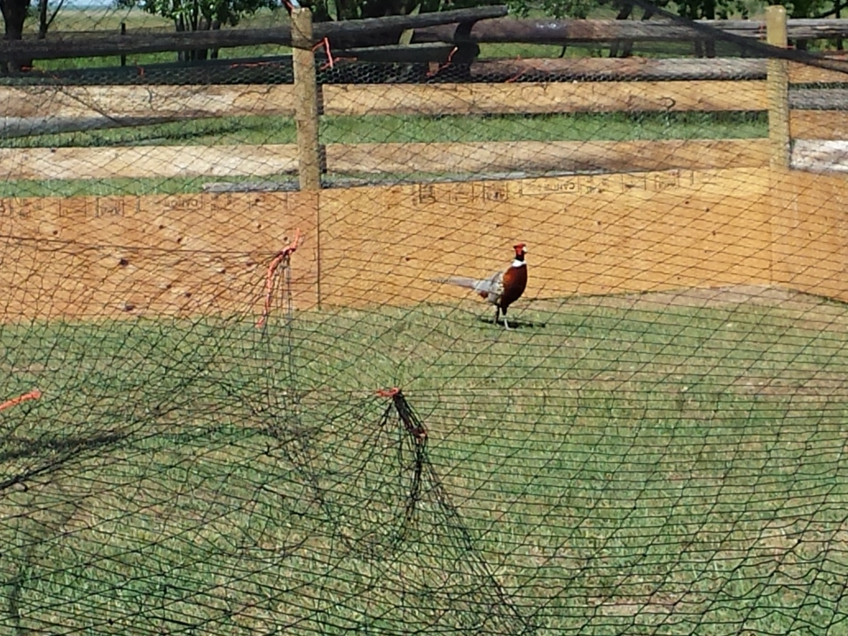 Big daddy pheasant couldn't leave the little ones on their own