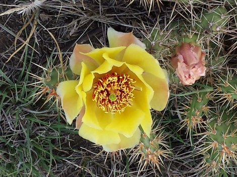 Prickly pear blooming