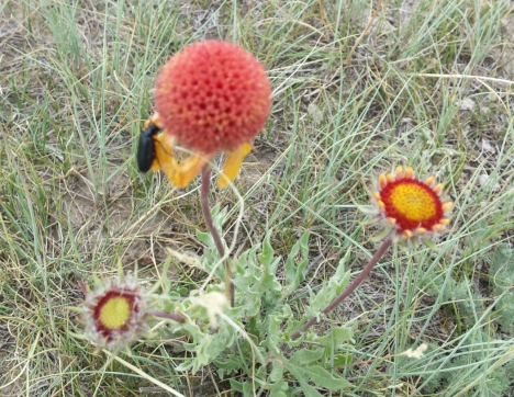 Gaillardia gone to seed
