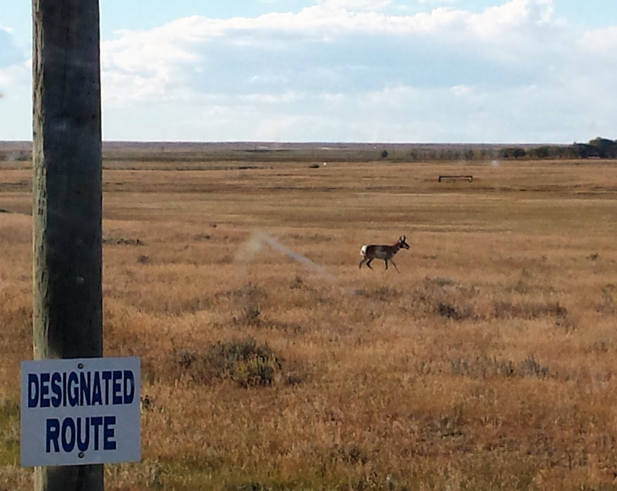 An antelope hanging out on the Ranch on Thanksgiving weekend