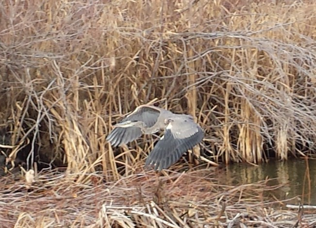 The Great Blue Heron along the canal on November 8th 2016