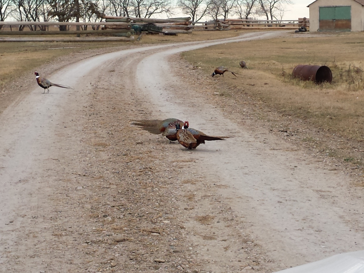 Pheasants playing in the yard :)