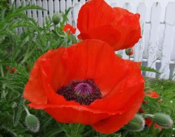 Red poppies for remembrance day