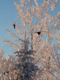two pheasants in a frost covered tree