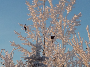 Pheasants in the tree on a beautiful morning