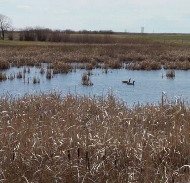 geese on the wetland