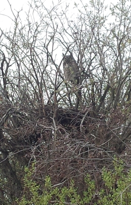 A grey horned owl in willows