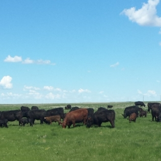 cattle out mowing the grass