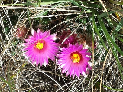 pin cushion cactus blossoms