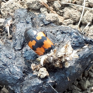 a bury beetle busy working away on coyote scat
