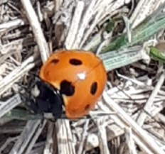 The first lady bug of the season