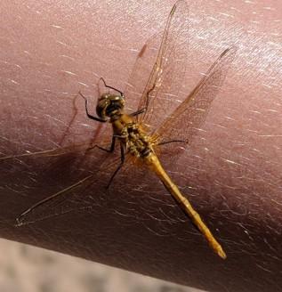 A damsel fly on Reyds arm