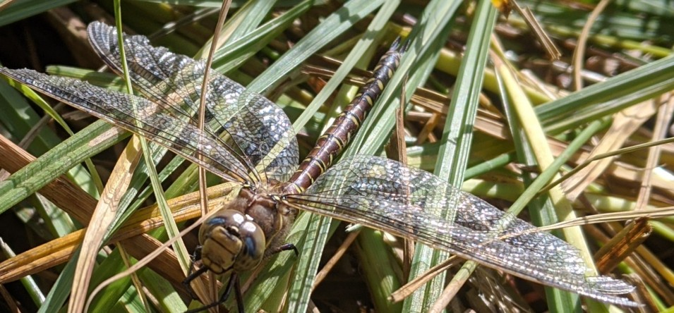 Dragon fly hiding in the grass