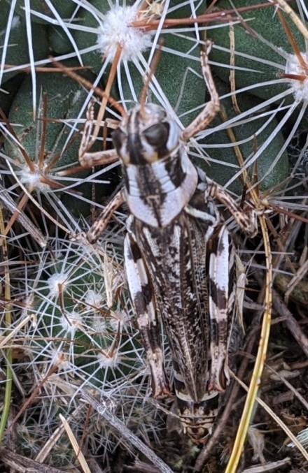 Grass hopper hiding in the cactus