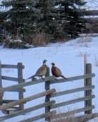 Pheasants looking for food