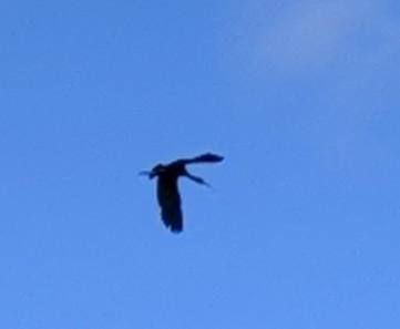A white faced Ibis in flight