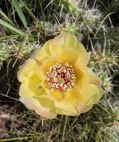 Cactus blosson