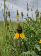 Yellow prairie cone flower