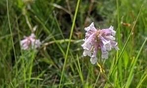 Lilac flowered beardtongue